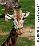 rothschild's giraffe  giraffa... | Shutterstock . vector #1285672867