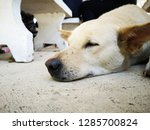 close up thai white dog... | Shutterstock . vector #1285700824