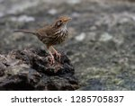 lanceolated warbler in nature | Shutterstock . vector #1285705837