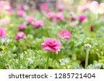 close up little pink flower in...   Shutterstock . vector #1285721404