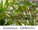 philodendron beautiful and... | Shutterstock . vector #1285812211