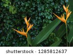 exotic yellow heliconia... | Shutterstock . vector #1285812637