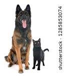 belgian shepherd tervurenand...   Shutterstock . vector #1285853074