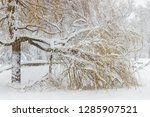 weeping willow covered with... | Shutterstock . vector #1285907521