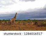 male giraffe in the kruger... | Shutterstock . vector #1286016517