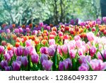 colorful of tulip flowers and... | Shutterstock . vector #1286049337