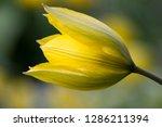 yellow tulip on blurred...   Shutterstock . vector #1286211394
