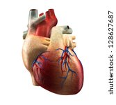 Anatomy Of Human Heart  ...