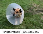 sick and injured dog wearing an ... | Shutterstock . vector #1286369557