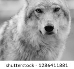 wolf portrait in black and...   Shutterstock . vector #1286411881