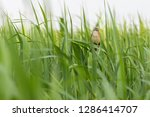 great reed warbler bird on the... | Shutterstock . vector #1286414707