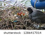 Mother Coot Feeds Her Young Wh...