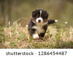 Stock photo puppy discover the world australian shepherd puppy 1286454487