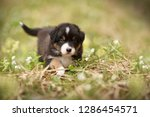 Stock photo puppy discover the world australian shepherd puppy 1286454571