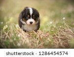 Stock photo puppy discover the world australian shepherd puppy 1286454574