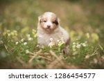 Stock photo puppy discover the world australian shepherd puppy 1286454577