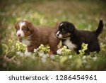 Stock photo puppies discover the world australian shepherd puppies age weeks 1286454961