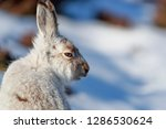 Stock photo white mountain hare lepus timidus in scottish highland these hare change their fur colour white 1286530624