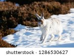 Stock photo white mountain hare lepus timidus in scottish highland these hare change their fur colour white 1286530627