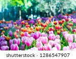 colorful of tulip flowers and... | Shutterstock . vector #1286547907