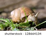 Edible Roman Snail  Helix...