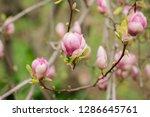 amazing purple magnolia flowers ...   Shutterstock . vector #1286645761