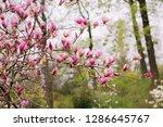 amazing purple magnolia flowers ...   Shutterstock . vector #1286645767
