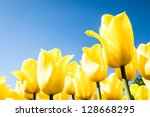 Beautiful Yellow Tulips At A...