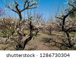 plum blossoms around osaka... | Shutterstock . vector #1286730304