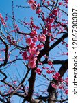 plum blossoms around osaka... | Shutterstock . vector #1286730307