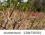 plum blossoms around osaka... | Shutterstock . vector #1286730331