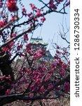 plum blossoms around osaka... | Shutterstock . vector #1286730334