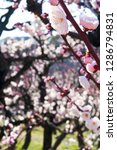 plum blossoms around osaka... | Shutterstock . vector #1286794831