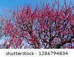 plum blossoms around osaka... | Shutterstock . vector #1286794834