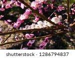 plum blossoms around osaka... | Shutterstock . vector #1286794837
