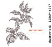 coffee tree sketch branch with...   Shutterstock .eps vector #1286946967