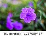 ruellia squarrosa and green...   Shutterstock . vector #1287009487