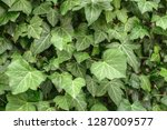 a wall of common ivy. usuable... | Shutterstock . vector #1287009577