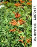 A Leonotis Plant In A Very...