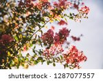 Pink Cherry Blossom Flowers At...
