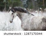 stallion portrait of a gray...   Shutterstock . vector #1287170344