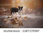Stock photo puppy ist standing in the lake with great reflection boston terrier puppy at the lake 1287170587