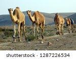 Israel  Negev Desert  A Herd Of ...