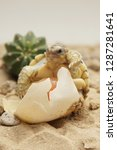 Stock photo cute portrait of baby tortoise hatching africa spurred tortoise birth of new life closeup of a 1287281641