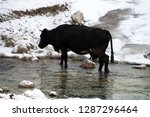 cow crossing the river in... | Shutterstock . vector #1287296464