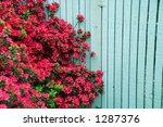 Red Azaleas By A Blue Fence