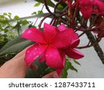 pink frangipani is beautiful ... | Shutterstock . vector #1287433711