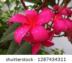 pink frangipani is beautiful ... | Shutterstock . vector #1287434311