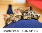 Stock photo bengal kittens leopard kittens funny bengal kittens 1287434617