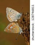 Mating Polyommatus Icarus